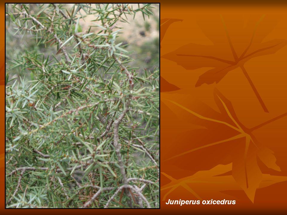 Juniperus oxicedrus