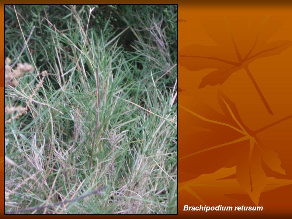 Brachipodium retusum