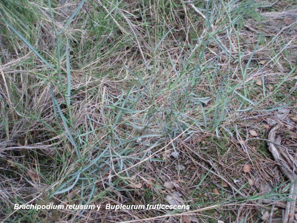 Brachipodium retusum y Bupleurum fruticescens