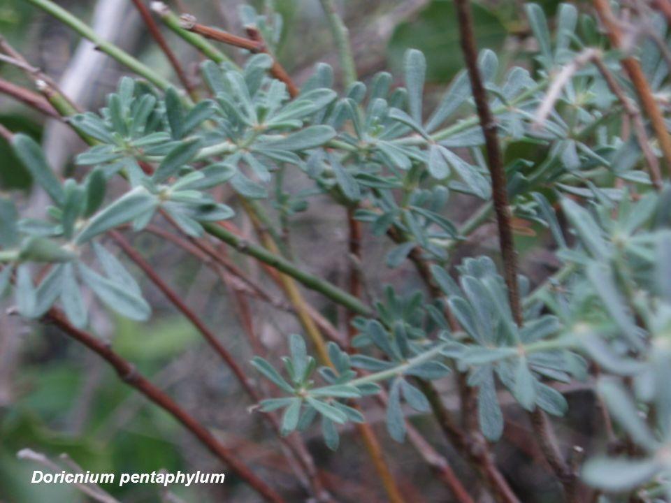 Doricnium pentaphylum