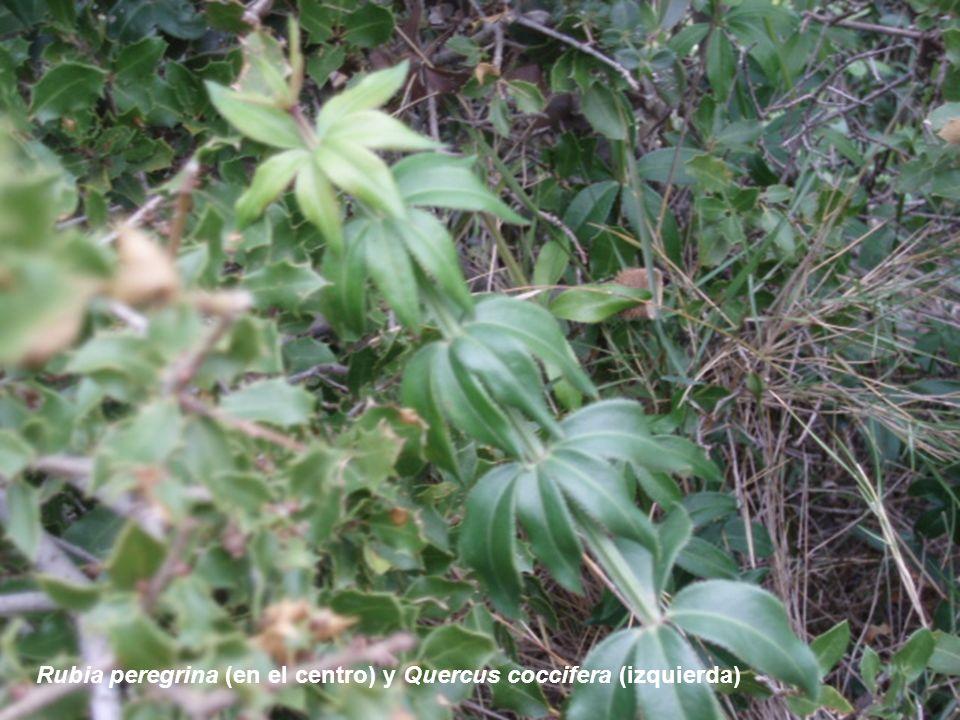 Rubia peregrina (en el centro) y Quercus coccifera (izquierda)