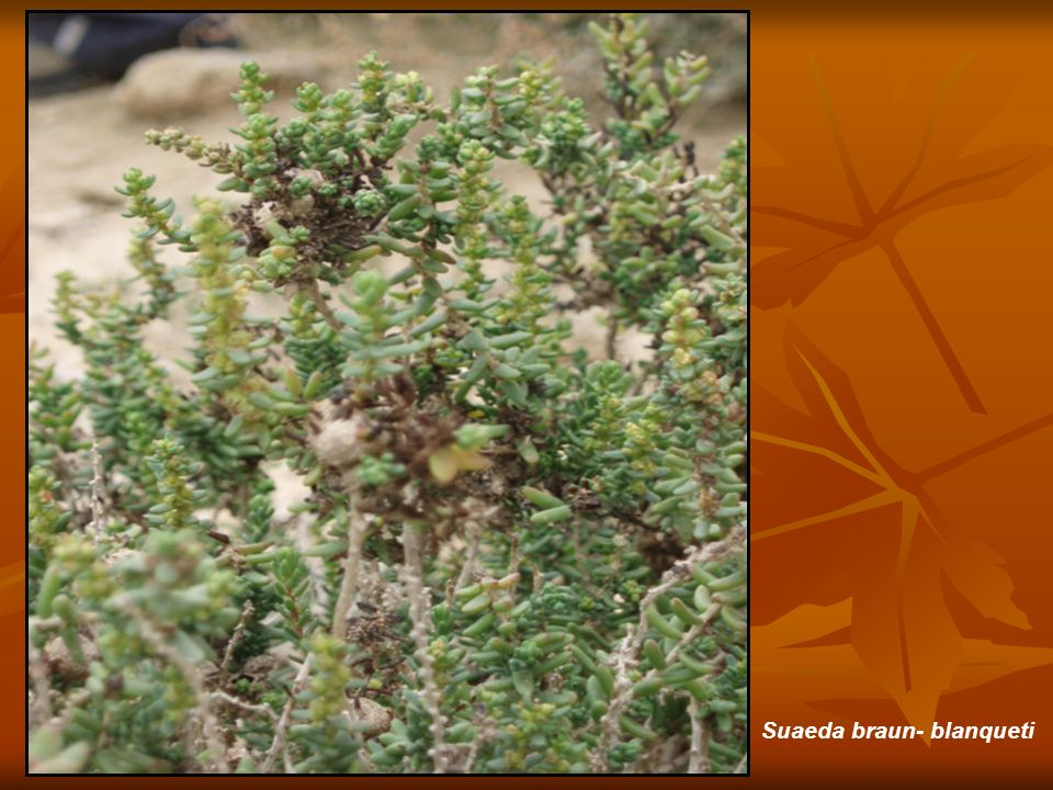 Suaeda braun- blanqueti