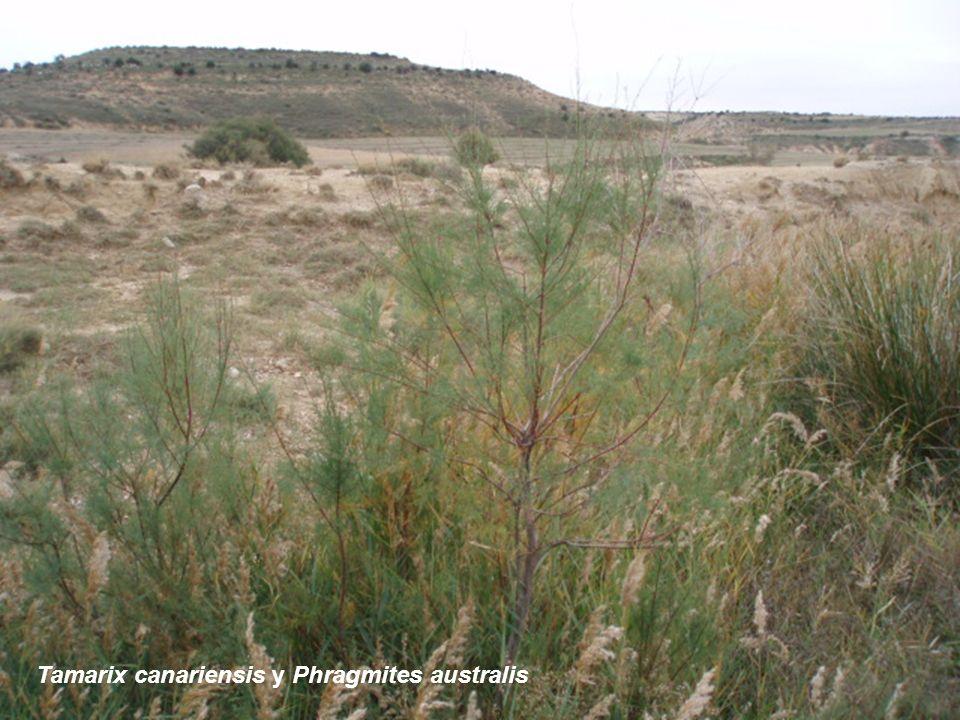Tamarix canariensis y Phragmites australis