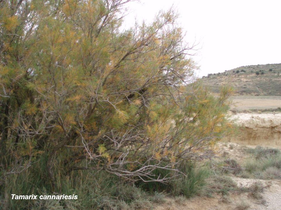 Tamarix cannariesis