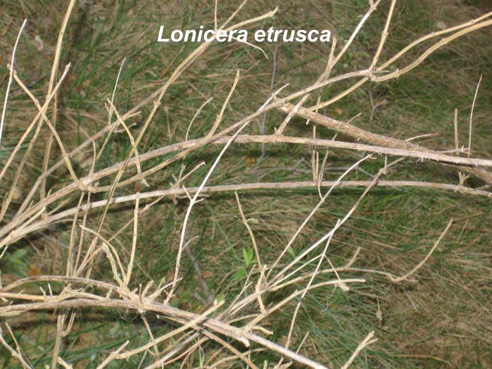 Lonicera etrusca