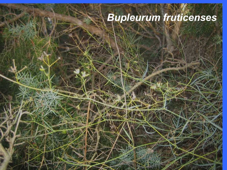 Bupleurum fruticenses