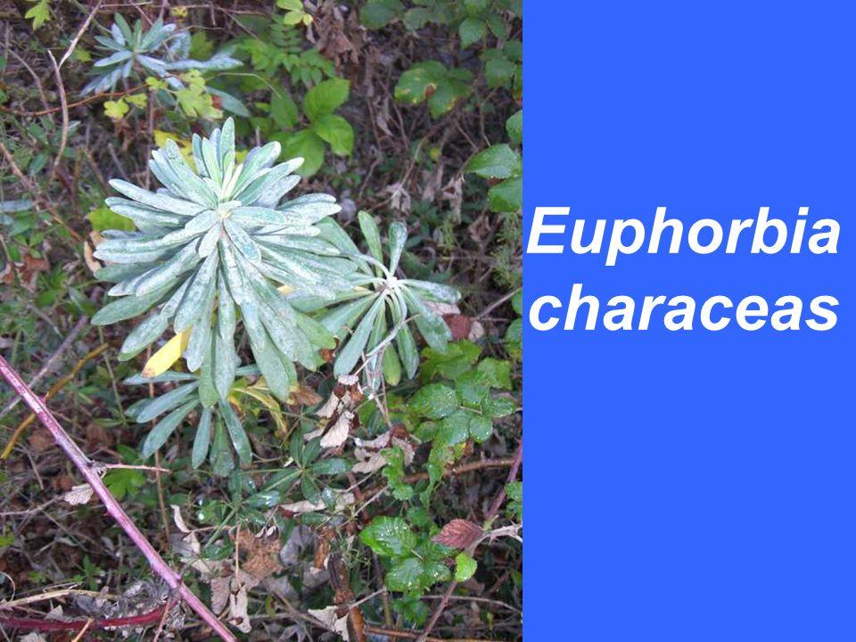 Euphorbia characeas