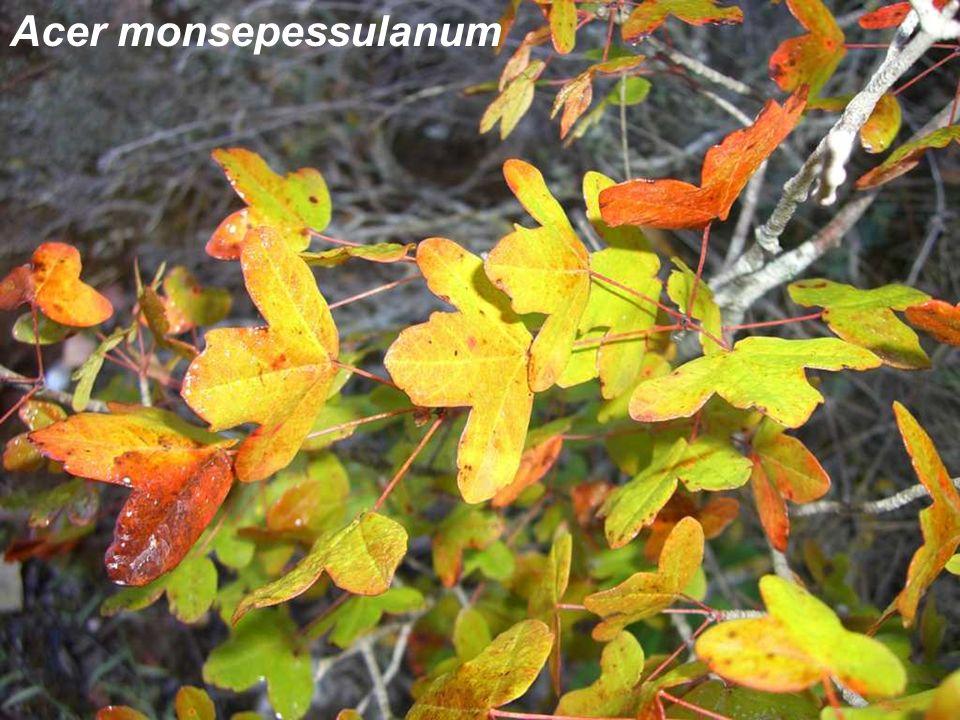 Acer monsepessulanum