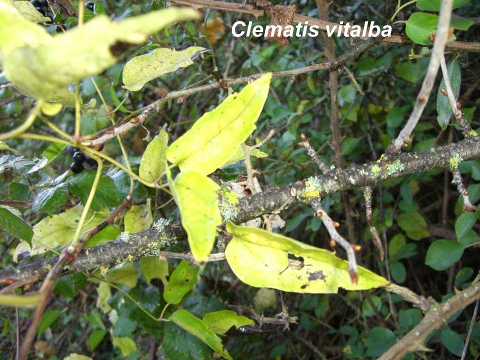 Clematis vitalba