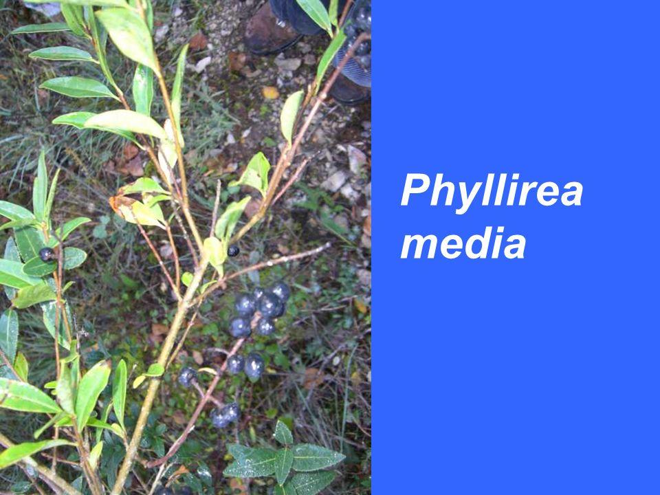 Phyllirea media