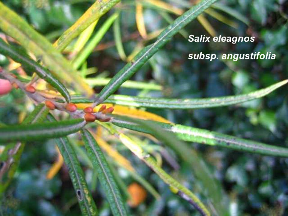 Salix eleagnos subsp. angustifolia