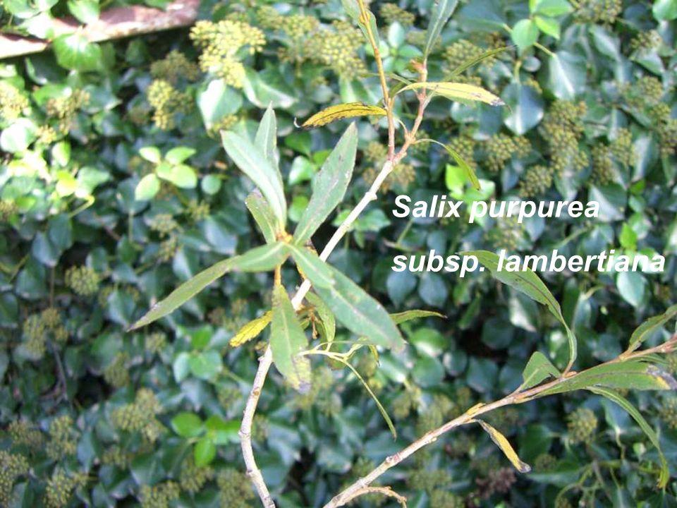 Salix purpurea subsp. lambertiana