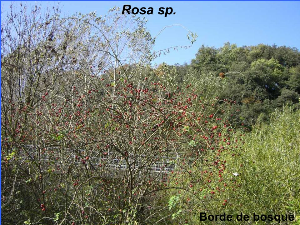 Rosa sp. Borde de bosque