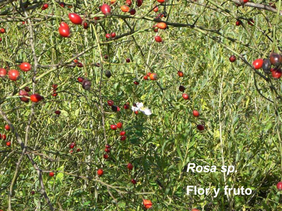 Rosa sp. Flor y fruto