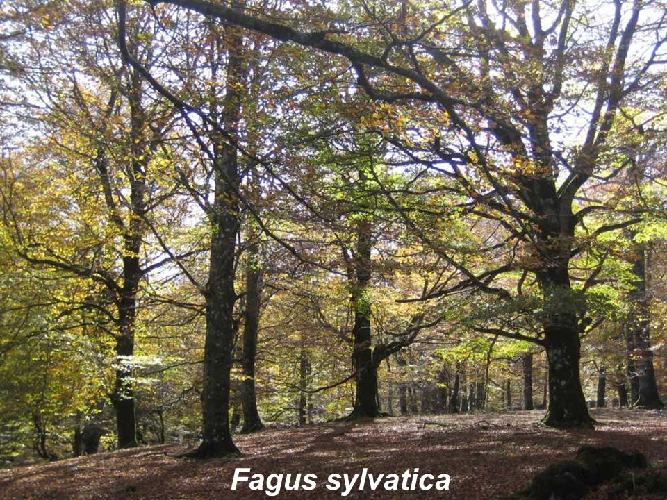 Fagus sylvatica