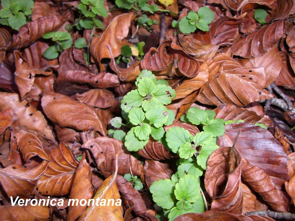 Veronica montana