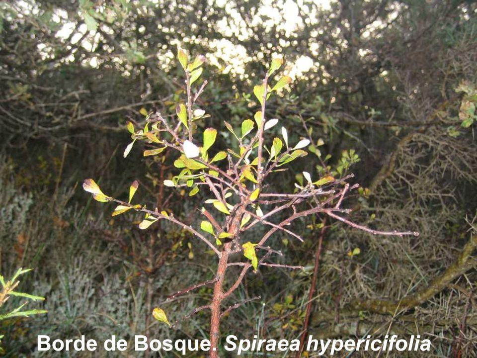 Borde de Bosque. Spiraea hypericifolia