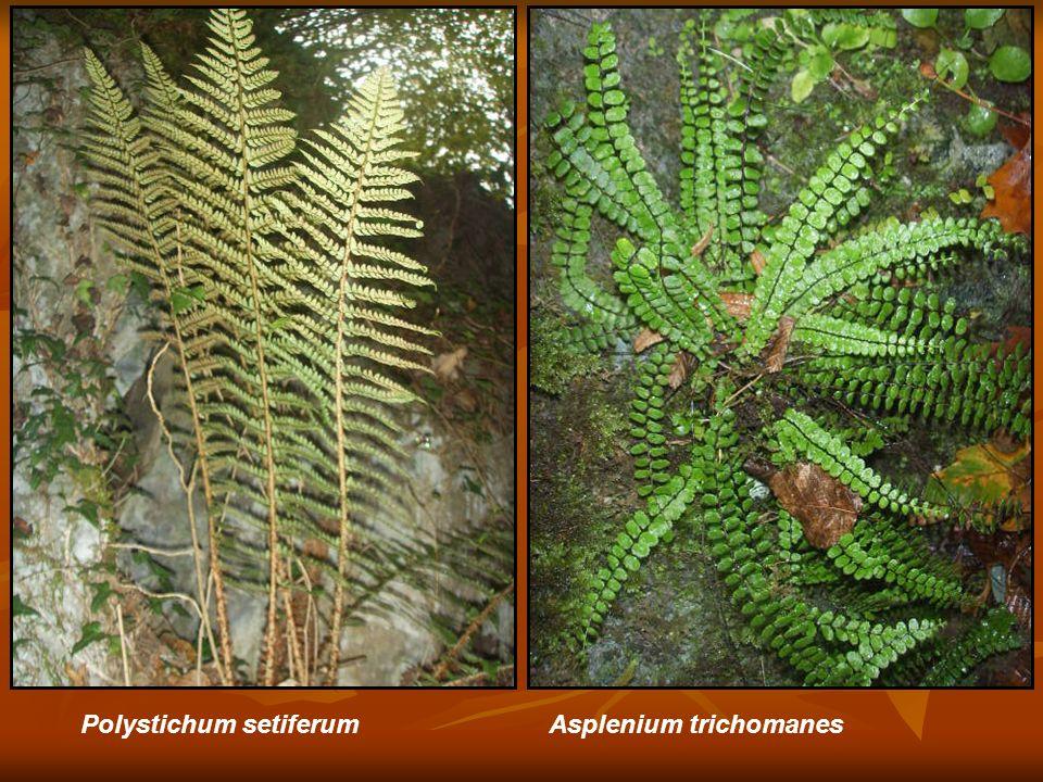 Polystichum setiferum