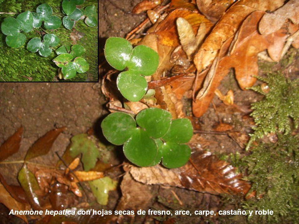 Anemone hepatica con hojas secas de fresno, arce, carpe, castaño y roble