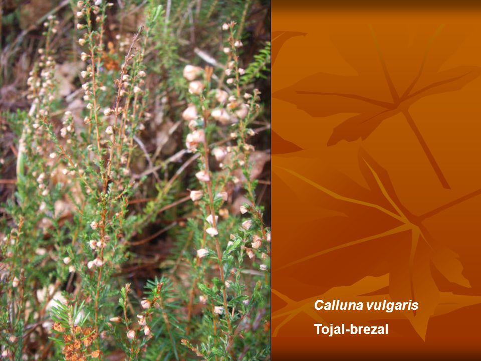 Calluna vulgaris Tojal-brezal