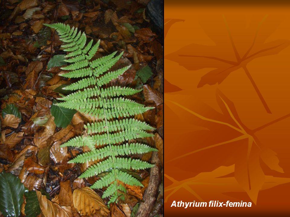 Athyrium filix-femina