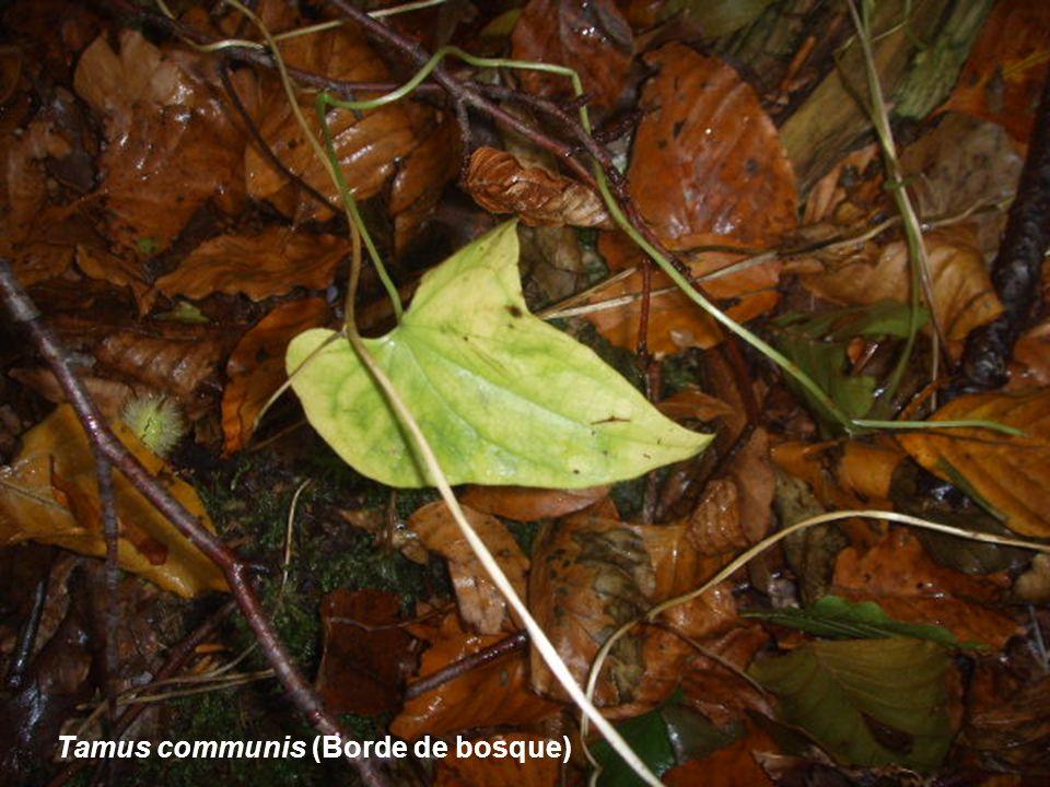 Tamus communis (Borde de bosque)