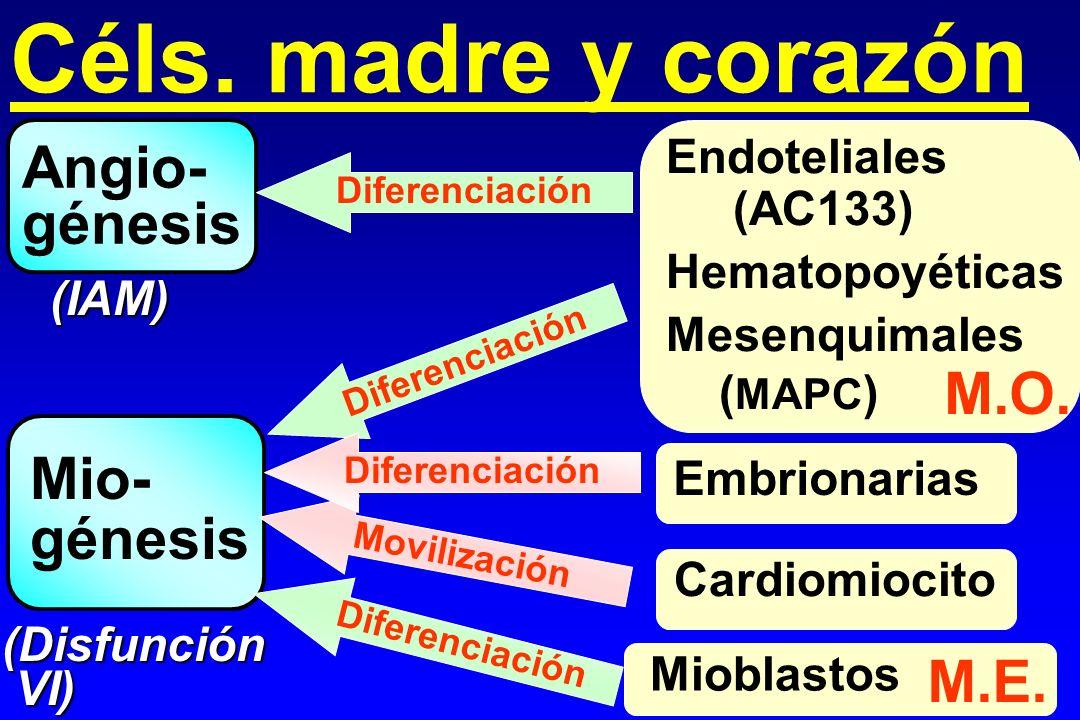 Céls. madre y corazón Angio- génesis M.O. Mio- génesis M.E.
