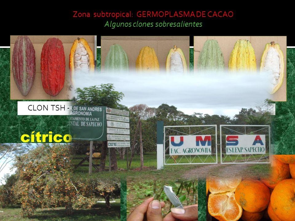 cítricos Zona subtropical: GERMOPLASMA DE CACAO