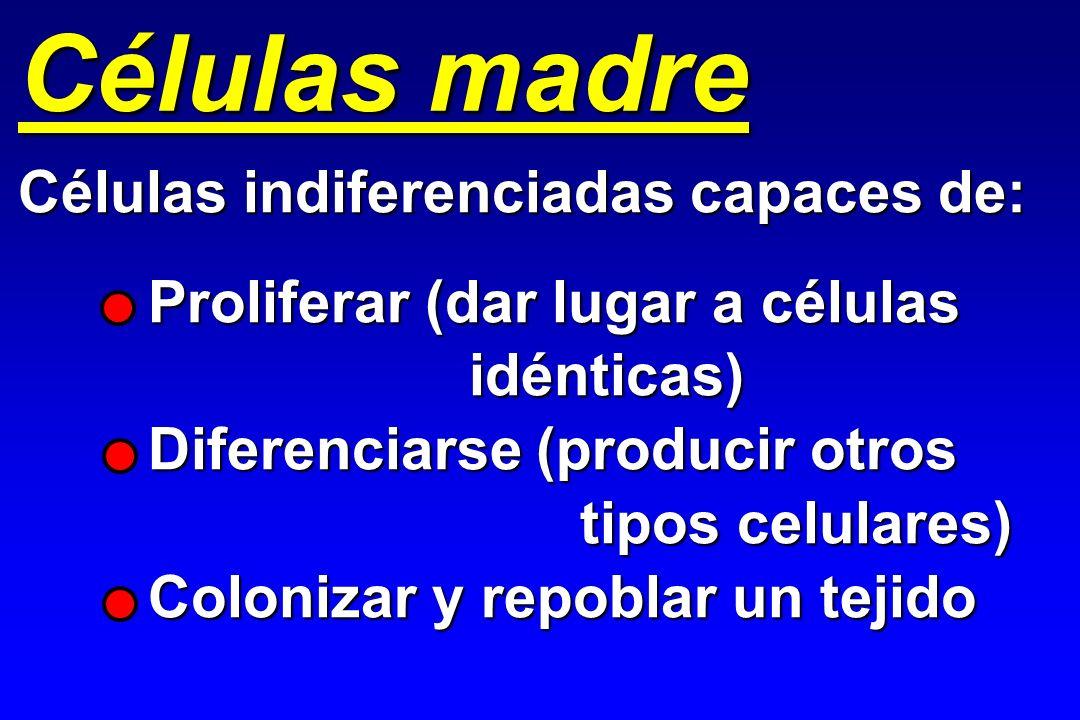 Células madre Células indiferenciadas capaces de: