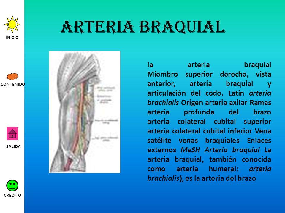Arteria braquial INICIO.