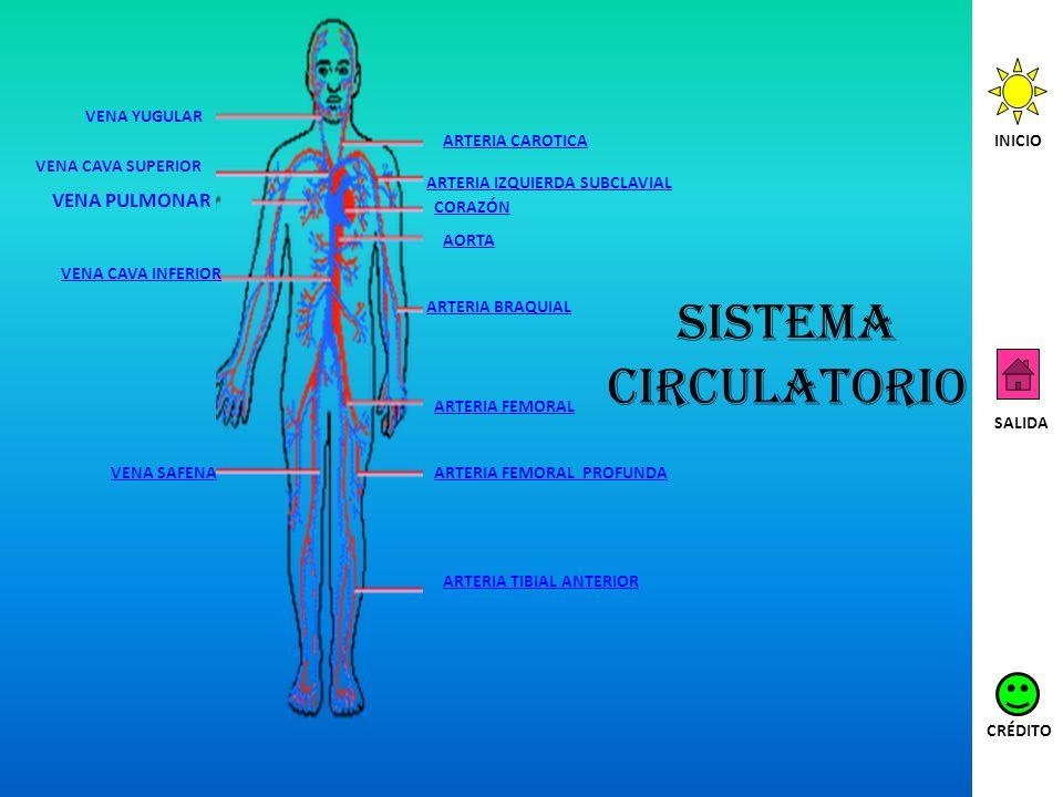 Sistema circulatorio VENA PULMONAR VENA YUGULAR ARTERIA CAROTICA