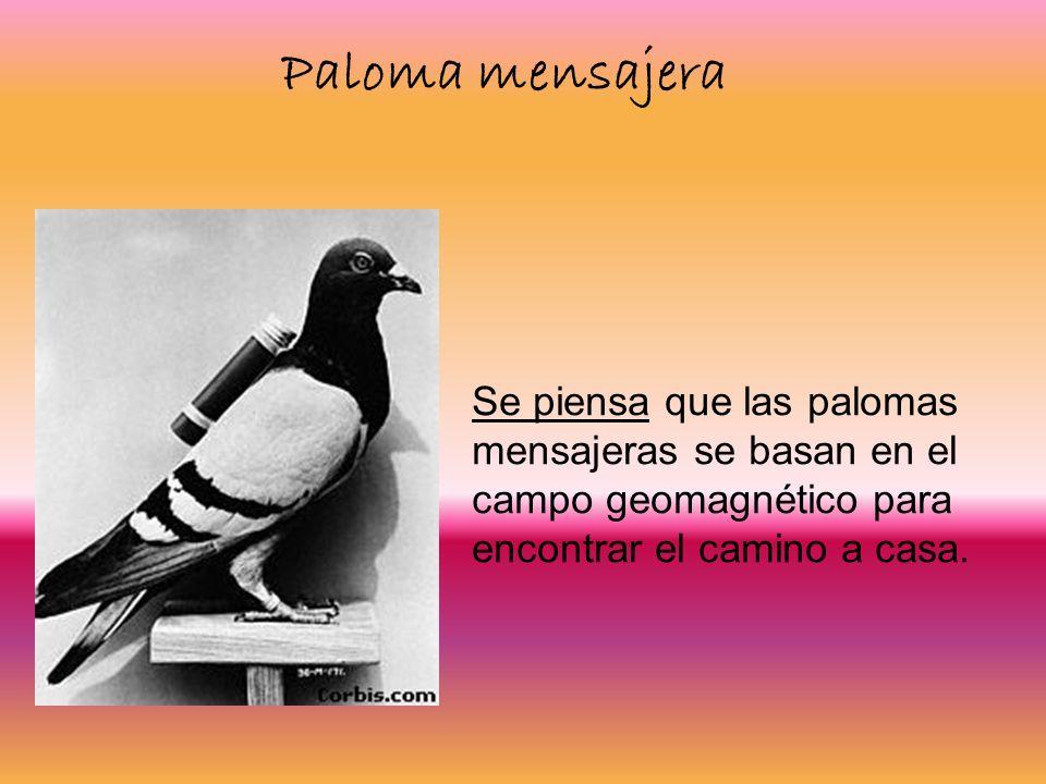 Paloma mensajera Se piensa que las palomas mensajeras se basan en el campo geomagnético para encontrar el camino a casa.