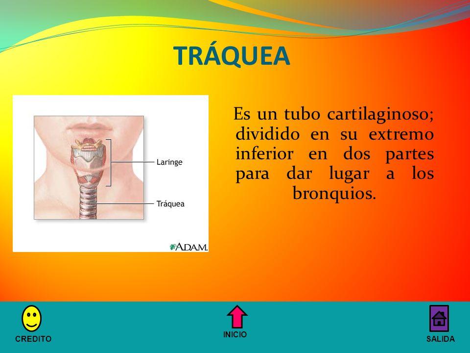 TRÁQUEA Es un tubo cartilaginoso; dividido en su extremo inferior en dos partes para dar lugar a los bronquios.