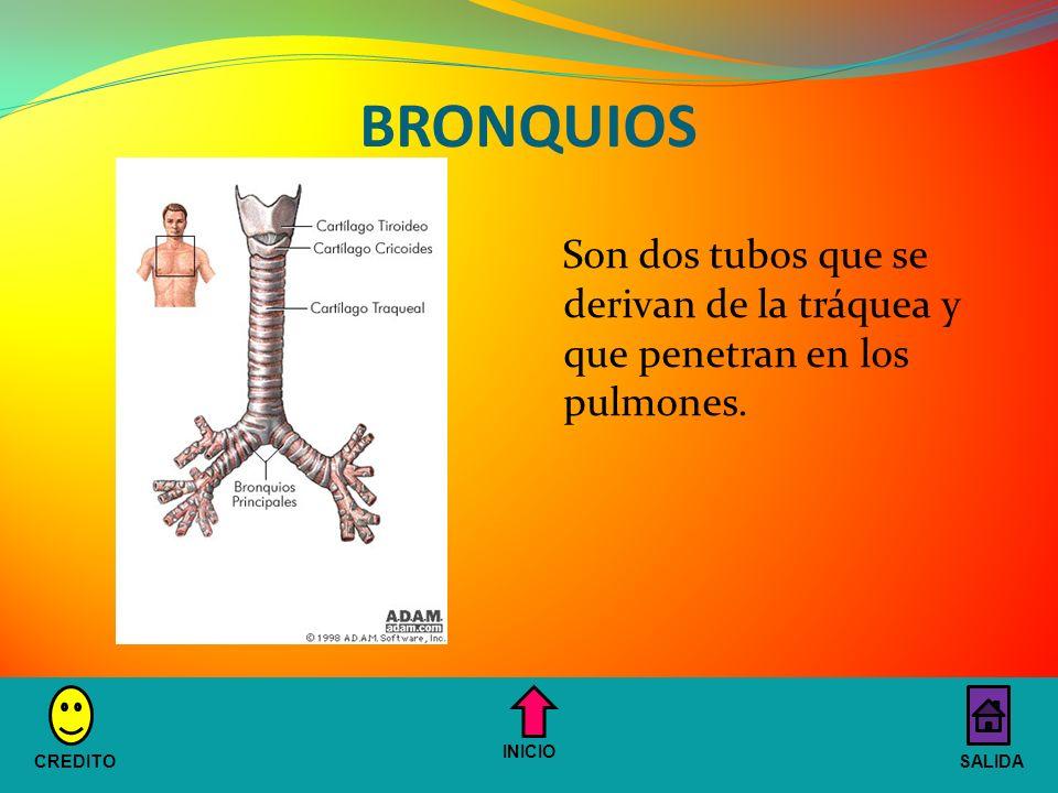 BRONQUIOS Son dos tubos que se derivan de la tráquea y que penetran en los pulmones. INICIO. CREDITO.
