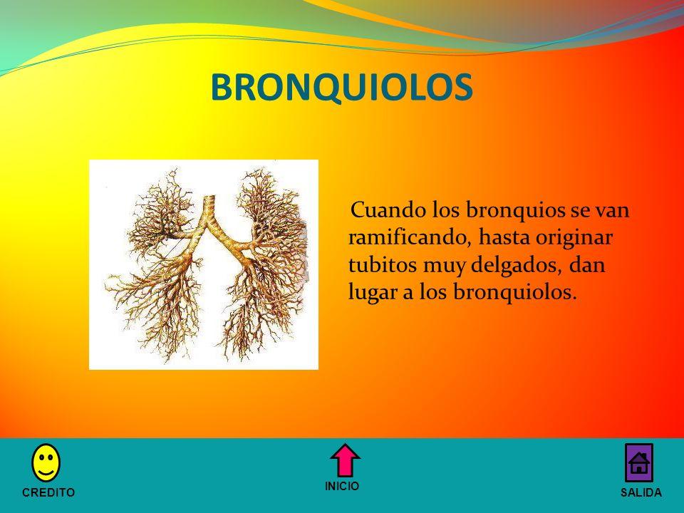BRONQUIOLOS Cuando los bronquios se van ramificando, hasta originar tubitos muy delgados, dan lugar a los bronquiolos.