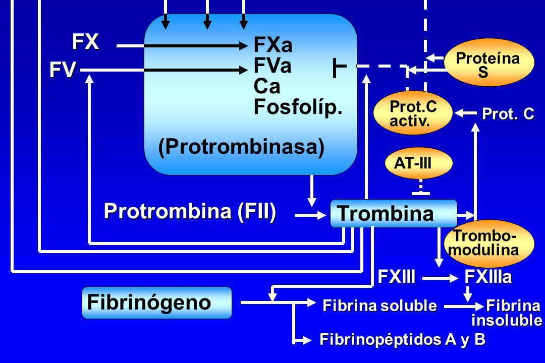 FX FXa FVa FV Ca Fosfolíp. (Protrombinasa) Protrombina (FII) Trombina