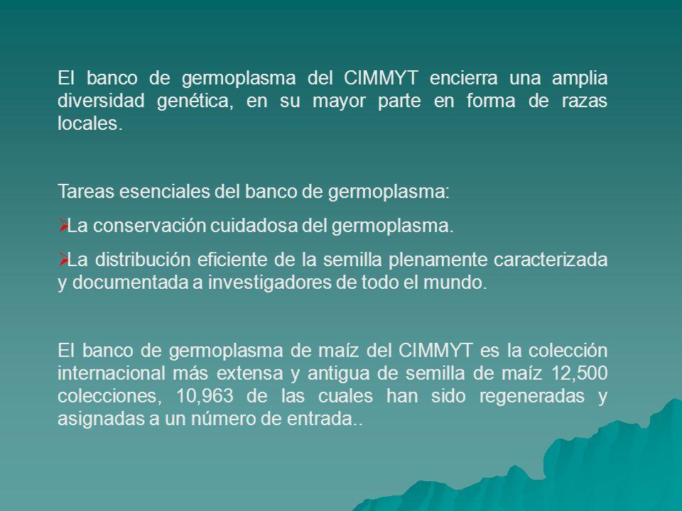El banco de germoplasma del CIMMYT encierra una amplia diversidad genética, en su mayor parte en forma de razas locales.