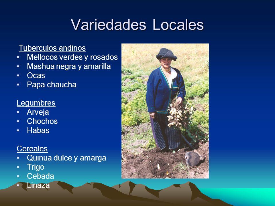 Variedades Locales Tuberculos andinos Mellocos verdes y rosados