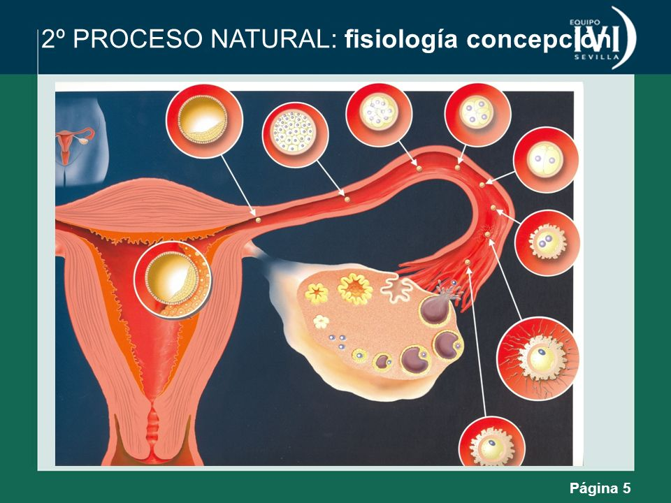 2º PROCESO NATURAL: fisiología concepción