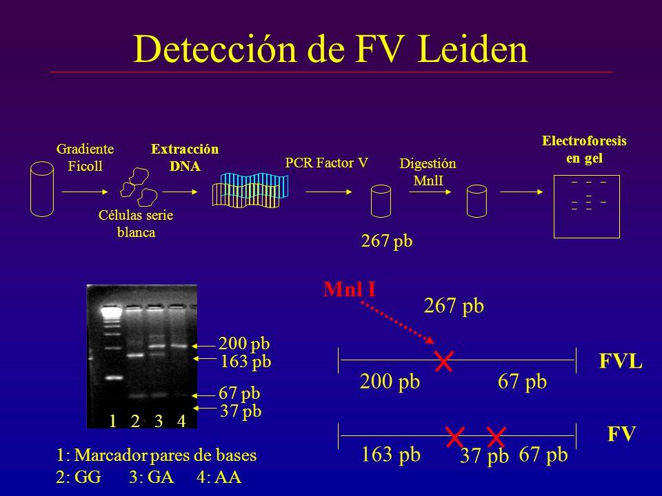 Detección de FV Leiden Mnl I 267 pb FVL 200 pb 67 pb 163 pb 67 pb