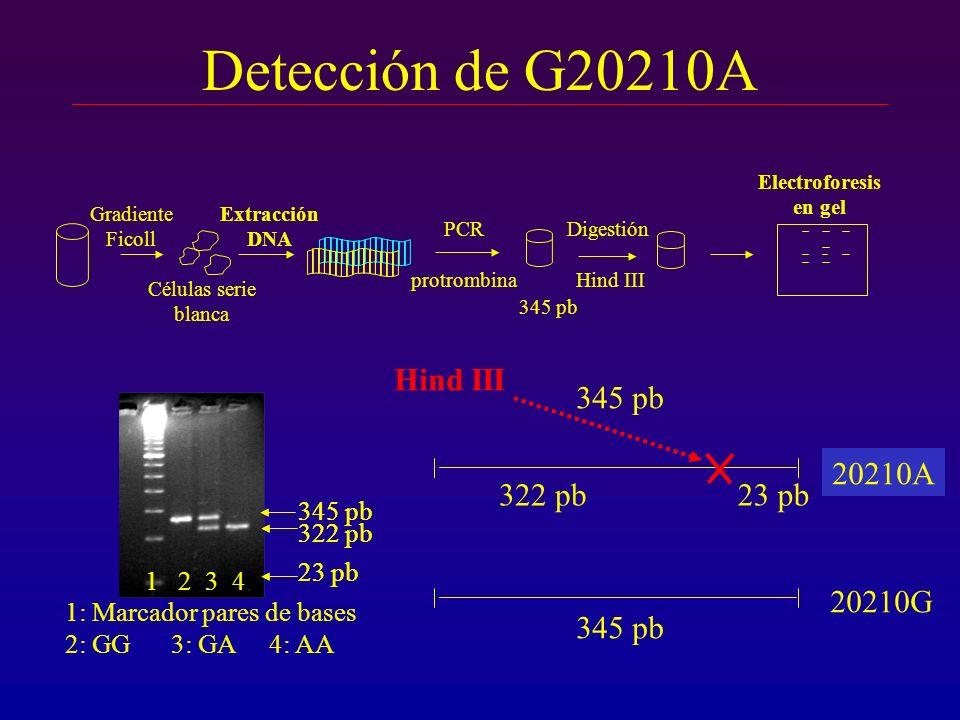 Detección de G20210A Hind III 345 pb 20210G 20210A 322 pb 23 pb 20210G