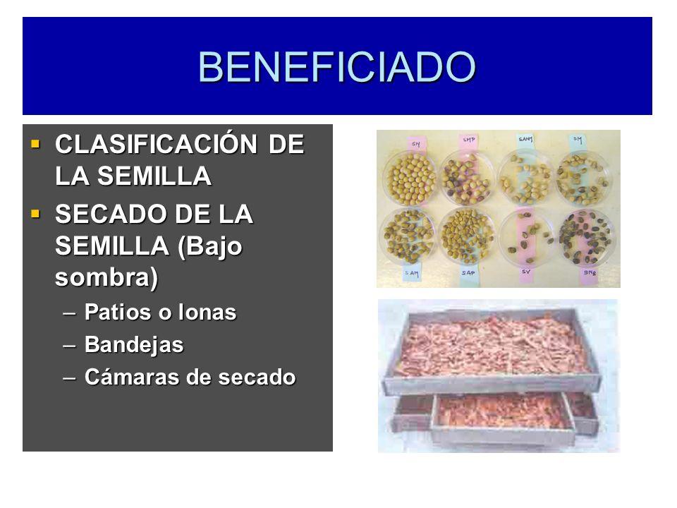 BENEFICIADO CLASIFICACIÓN DE LA SEMILLA