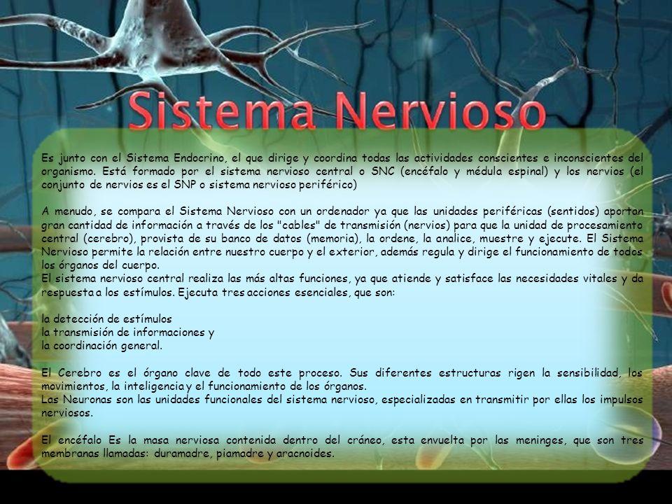 Es junto con el Sistema Endocrino, el que dirige y coordina todas las actividades conscientes e inconscientes del organismo. Está formado por el sistema nervioso central o SNC (encéfalo y médula espinal) y los nervios (el conjunto de nervios es el SNP o sistema nervioso periférico)