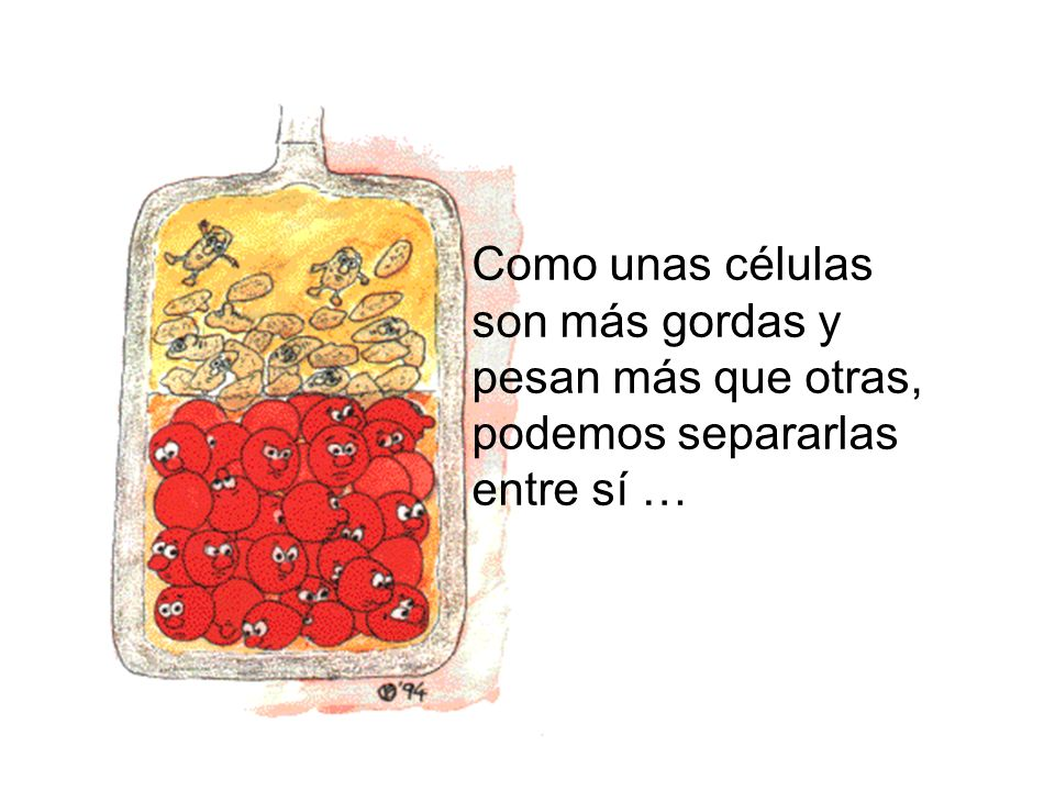 Como unas células son más gordas y pesan más que otras, podemos separarlas entre sí …