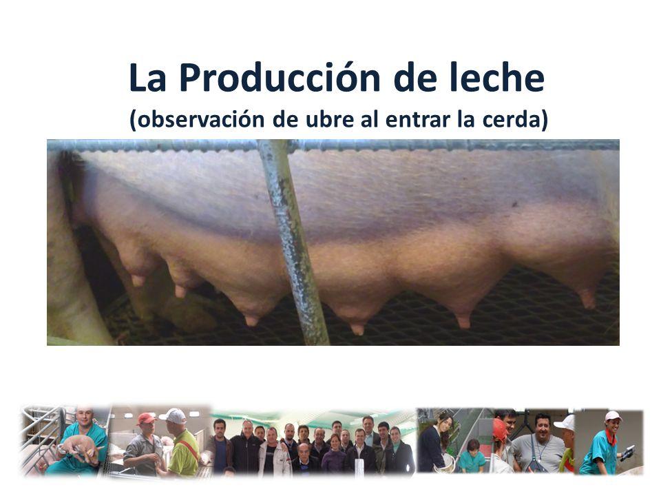 La Producción de leche (observación de ubre al entrar la cerda)