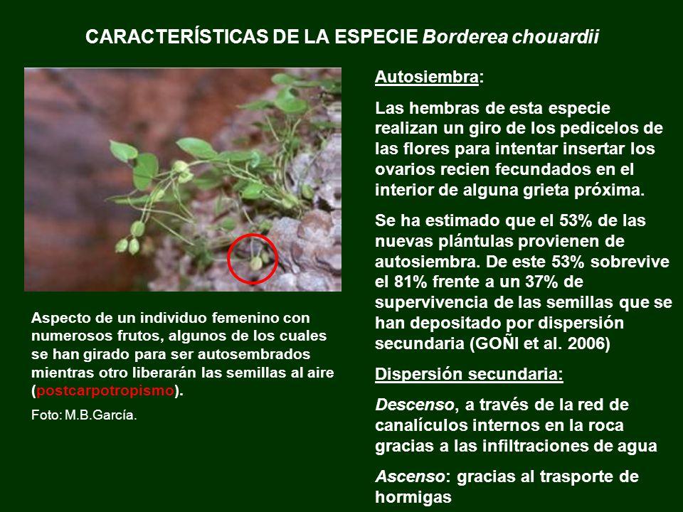 CARACTERÍSTICAS DE LA ESPECIE Borderea chouardii