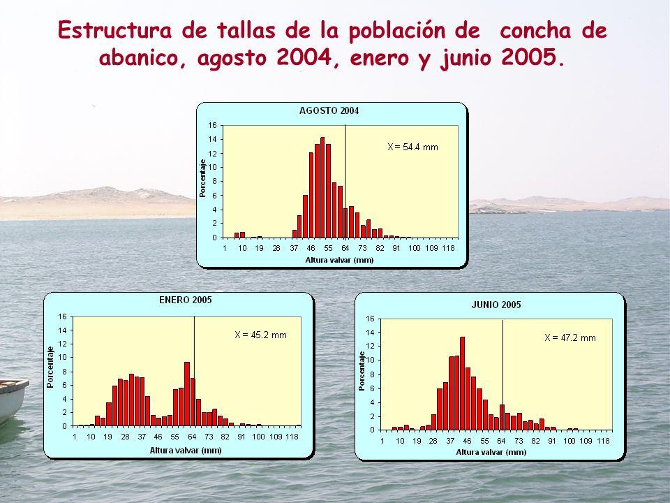 Estructura de tallas de la población de concha de abanico, agosto 2004, enero y junio 2005.