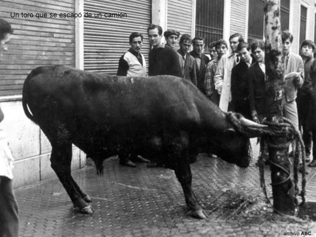 Un toro que se escapó de un camión