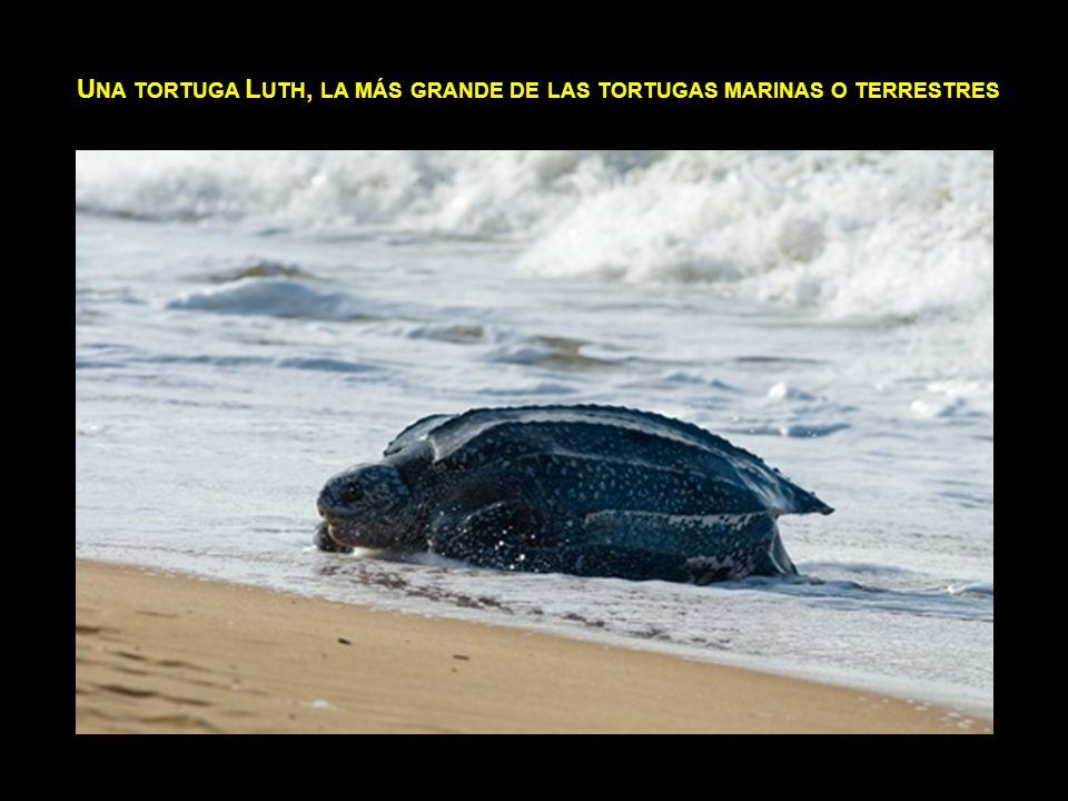 Una tortuga Luth, la más grande de las tortugas marinas o terrestres
