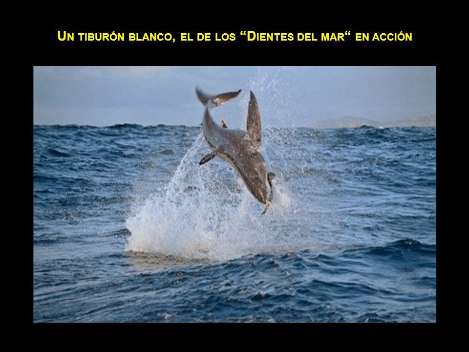 Un tiburón blanco, el de los Dientes del mar en acción